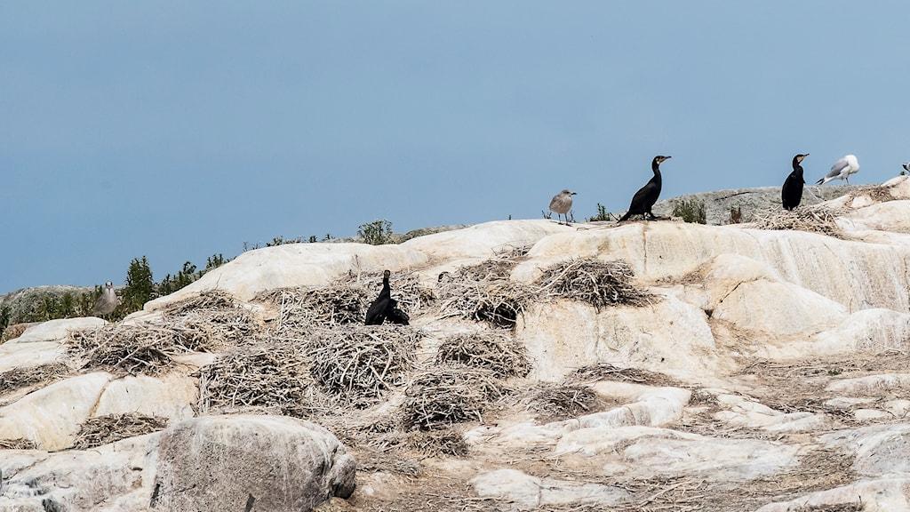 Skarvar på en klippa. Man ser deras bon.