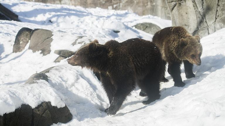Två björnar i snön.
