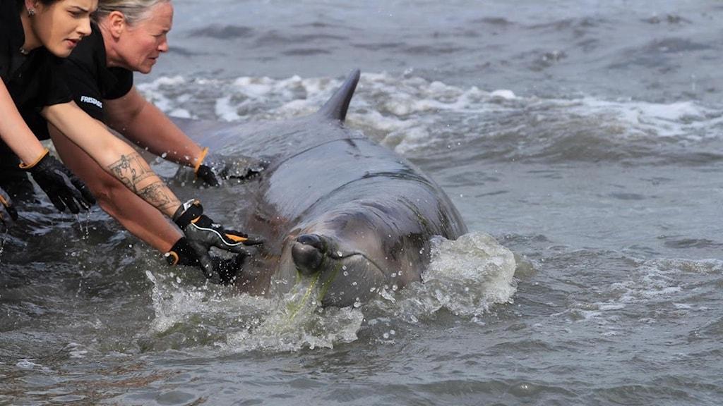 En dramatisk bild med människor som försöker hjälpa en strandad val i höftdjupt upprört vatten.