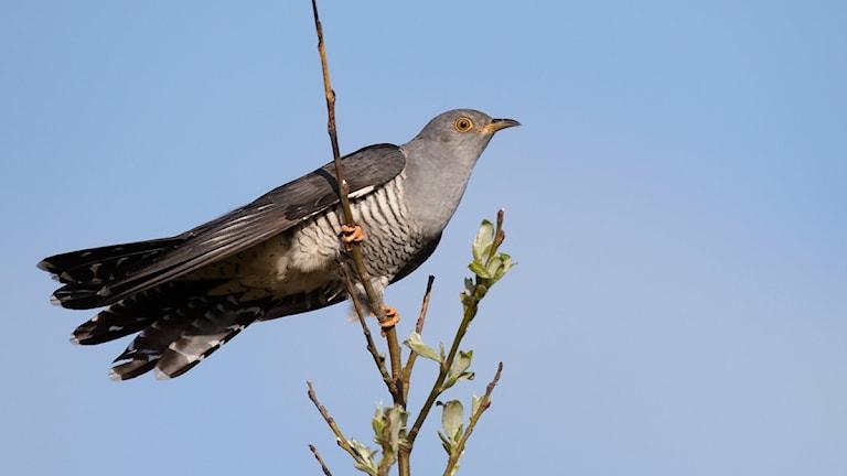 En långsträck halvstor fågel med tvärrandig buk och blågrått huvud sitter på en tunn kvist