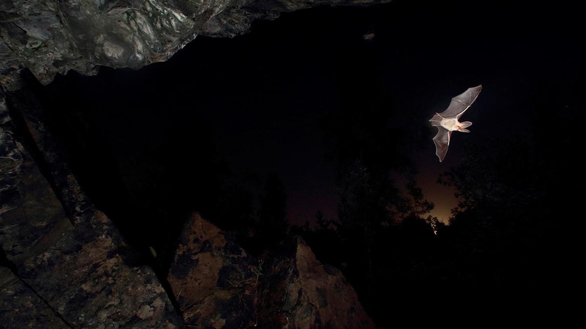 Fladdermöss utanför den gamla järngruvan i Taberg. Här i parningstiden i augusti.