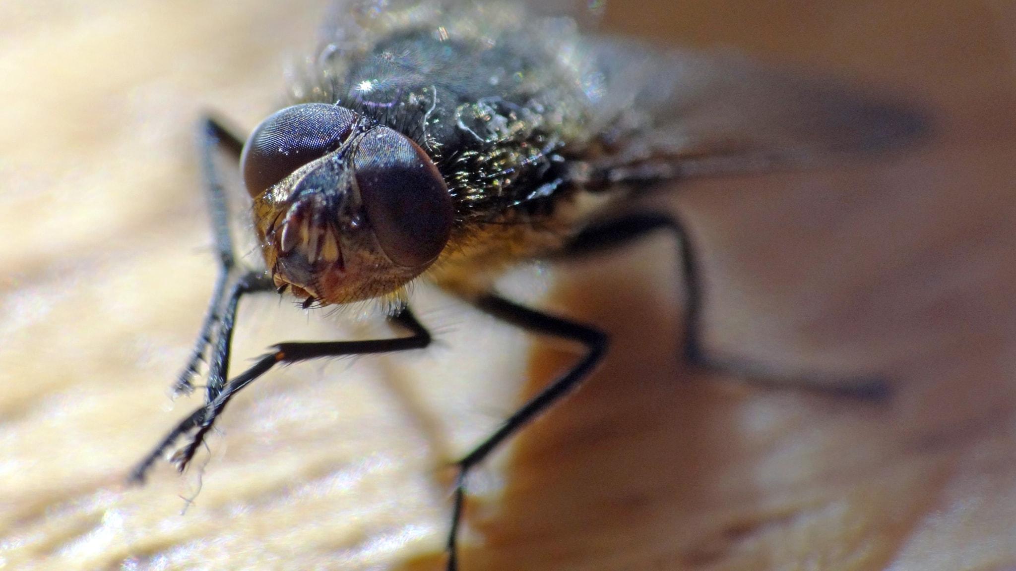 En fluga som gnuggar frambenen mot varandra.
