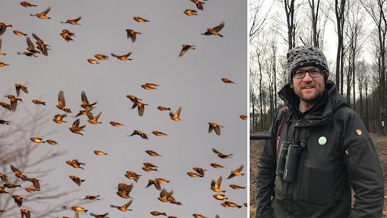 Massvis av Bergfinkar och Ornitologen Tomas Svensson