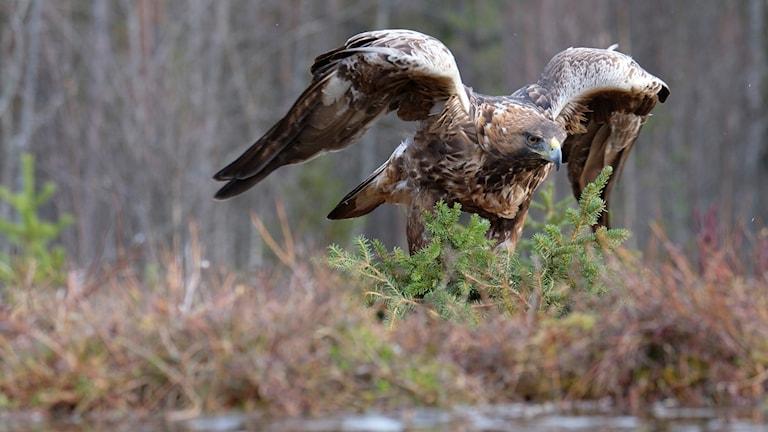 Kungsörn som lyfter på vingarna.
