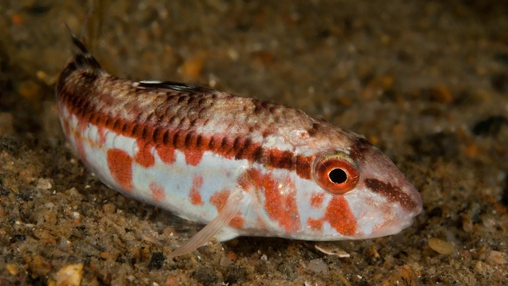 En fisk med rött på sidan. Mulle, Mullus surmuletus