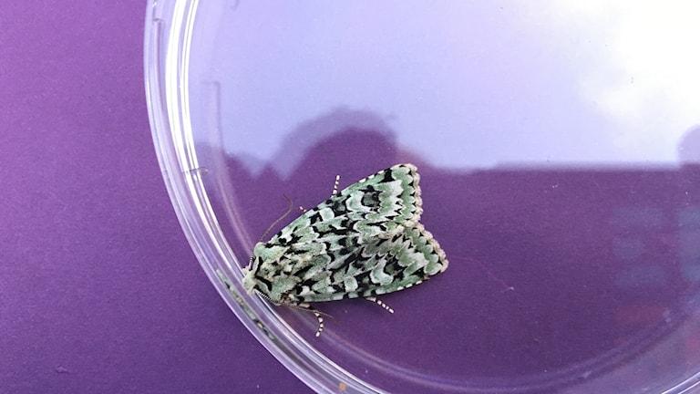 En nattfjäril sitter på en burk, den är vackert kamouflagetecknad i vitt, svart och grönt. Grön ekfly, Griposia aprilina