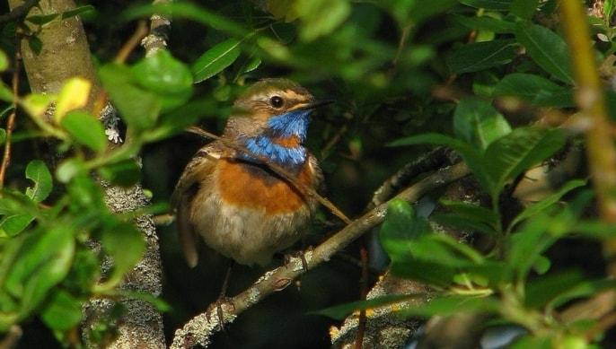 En fågel med kraftigt färgat blått och tegelrött bröst djupt inne i lövgrönskan med.