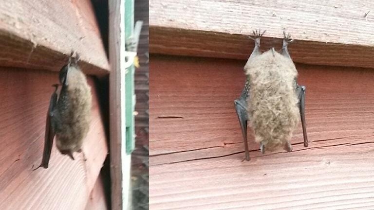 En fladdermus av okänd art som satt gömd bakom en fönstrelucka.