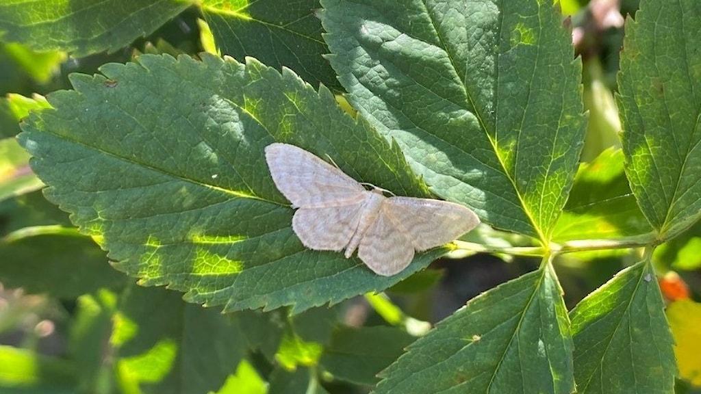 På ett grönt blad sitter en liten ljus fjäril med vingarna utbredda. På vingarna har den ett vågmönster i en lite mörkare nyans.