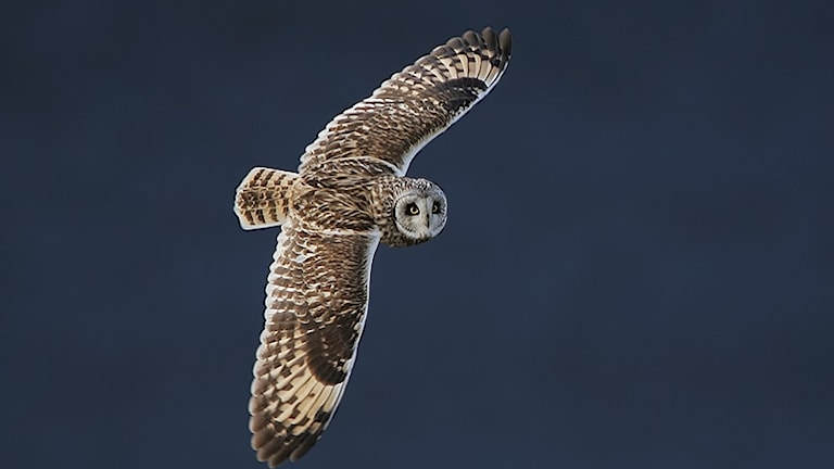 By Steve Garvie from Dunfermline, Fife, Scotland (Short-eared Owl (Asio flammeus)) [CC BY-SA 2.0 (https://creativecommons.org/licenses/by-sa/2.0)], via Wikimedia Commons