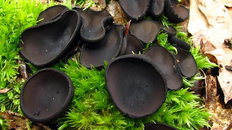 Ett antal grunt skålformade svarta svampar bland mossa