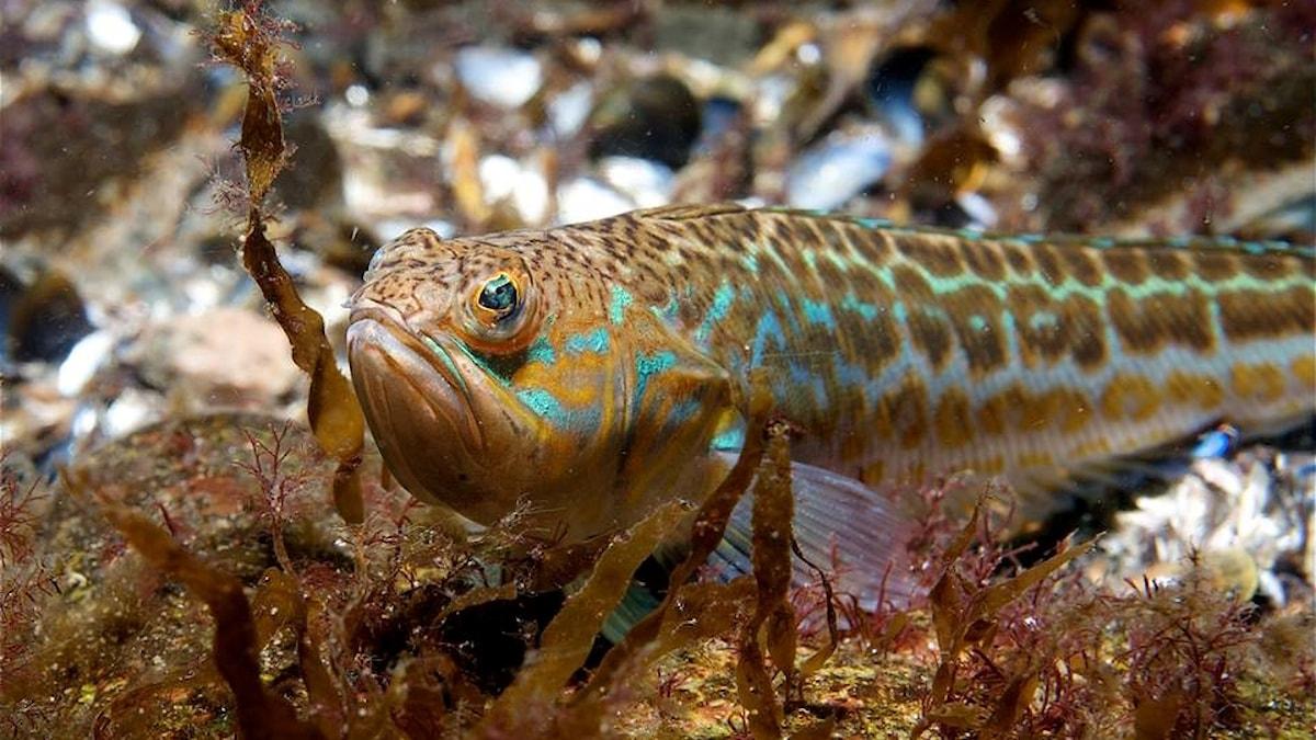 Fjärsingen är Sveriges enda giftiga fisk. Den - och många andra arter - finns i Skälderviken.