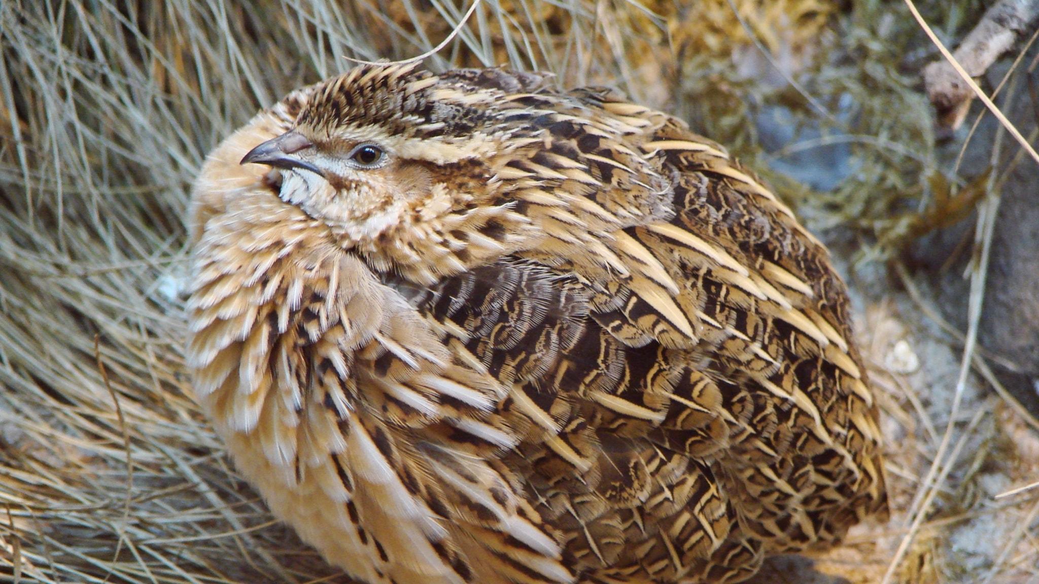 Fågelsånglektion #18: Vaktel, kornknarr, morkulla, nattskärra, gräshoppsångare, flodsångare och vassångare