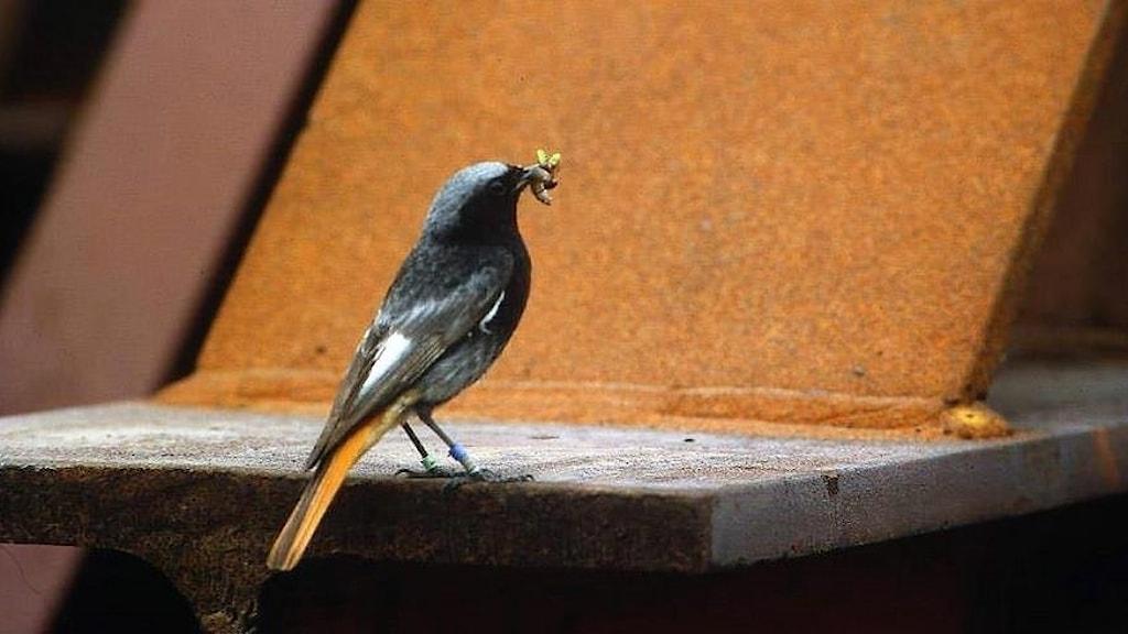 En svart fågel med rostbrun stjärt sitter på en rostig stålkonstruktion. Fågeln har en insekt i näbben. Hane av svart rödstjärt, Phoenicurus ochruros