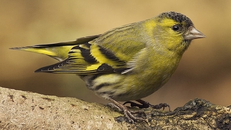 En närbild på en liten, grön- och svartspräcklig finkfågel på en gren