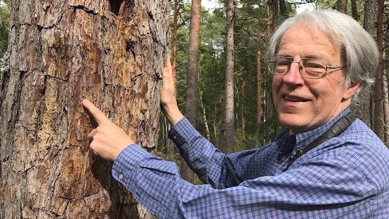 Sven G Nilsson, professor emeritus i zooekologi, med utgångshål för reliktbock.