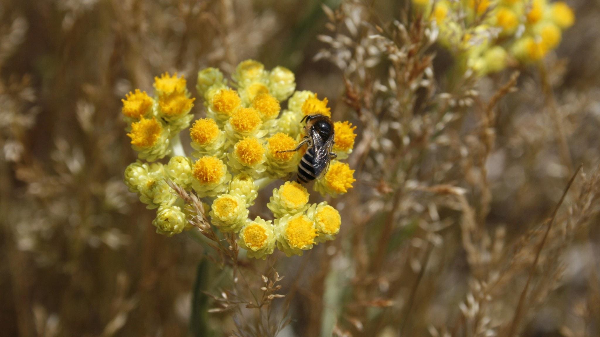 Ett bi besöker en gul blomma.