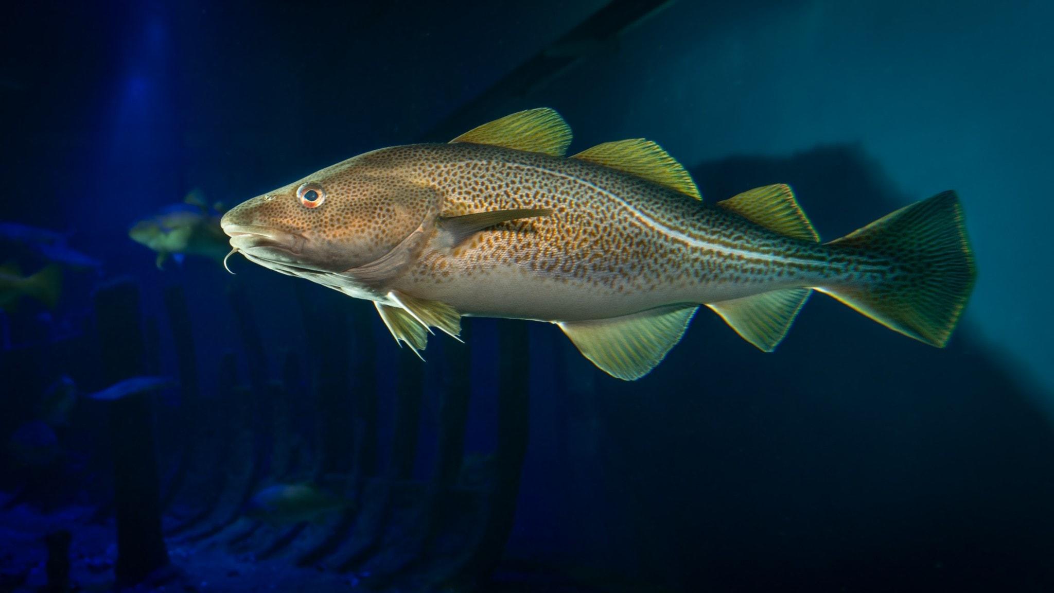 fisk (torsk)