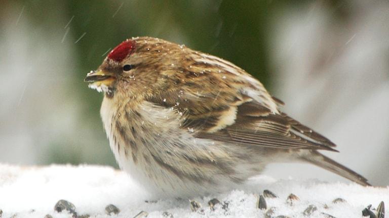 En ljus, spräcklig fågel som ser frusen ut i snöfallet