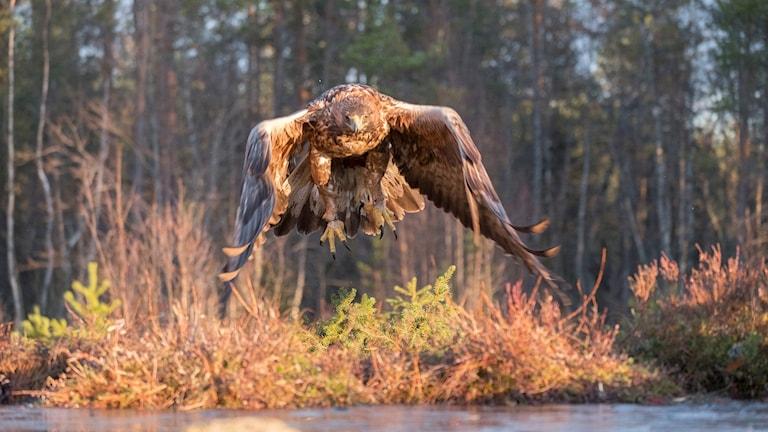 Kungsörn som flyger.