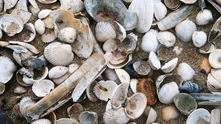 En närbild ner på en sandstrand där man ser mängder av musselskal i alla former och storlekar (samt en rostig kapsyl).
