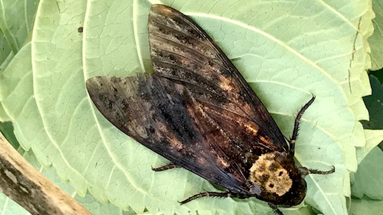 Dödskallesvärmare, en stor mörk svärmare, på ett blad i en burk.
