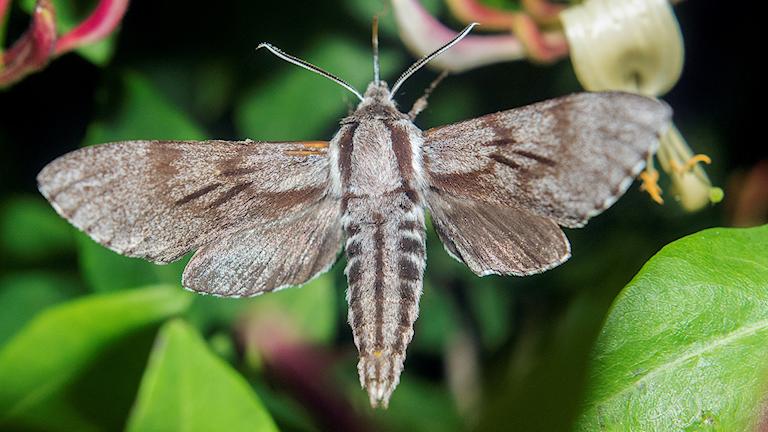 En stor nattfjäril med randig bakkropp och tre streck på framvingarna - en tallsvärmare Sphinx pinastri.