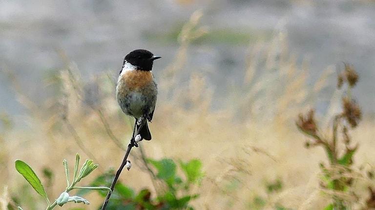 En fågel med svart huvud och orange bröst i toppen av en buske i öppen mark. Svarthakad buskskvätta (Saxicola rubicola)