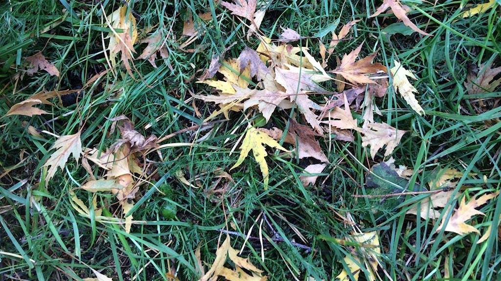 Löven från en Ornäsbjörk.
