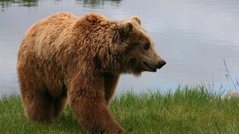 Varför går björnen i ide på vintern, undrar Rasmus Harrysson.