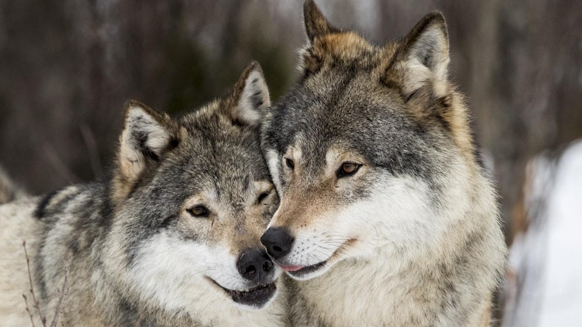 närbild på två vargar