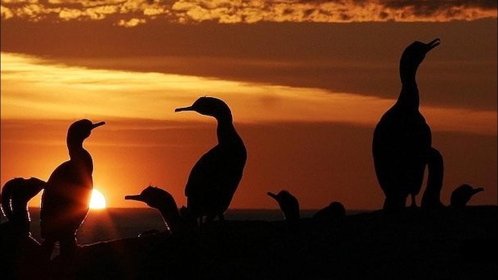 Skarvar, fåglar med upprätt sittställning och långa smala halsar, sitter på en klippa och ses i silhuett mot en röd solnedgångshimmel.