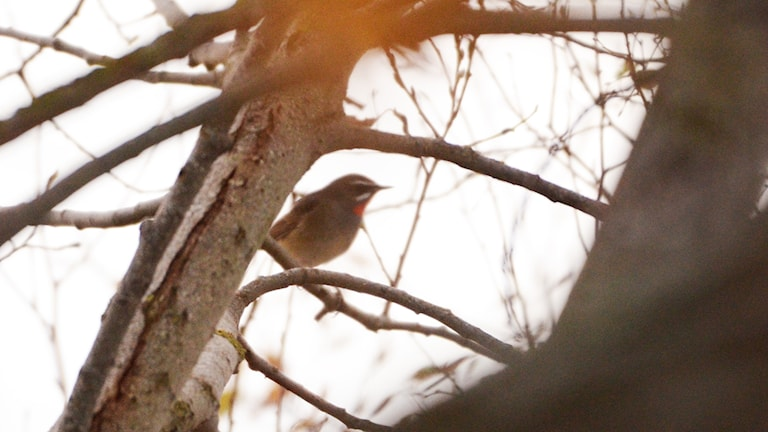 En brun småfågel sitter i ett träd. Man anar två tydliga streck i ansiktet och en klarröd hakklapp, kännetecknen på en rubinnäktergal (Calliope calliope)