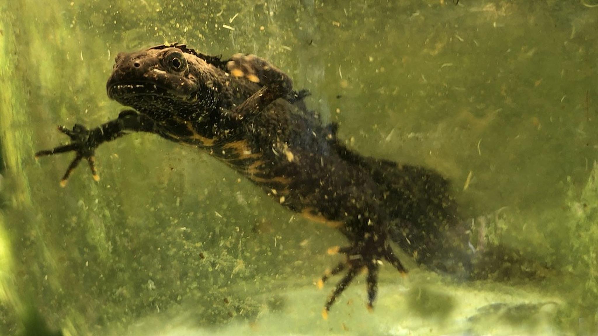 en vattensalamander under vattnet