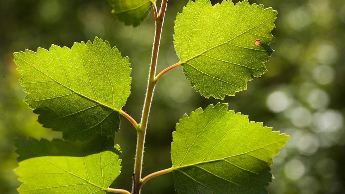 Glasbjörken har finludna kvistar och är lätt att bladrepa.