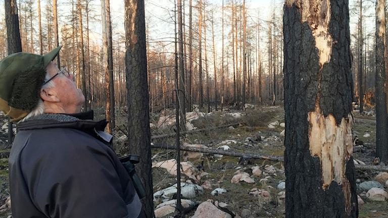 En äldre man tittar på en död och sotig trädstam där stora sjok av bark saknas