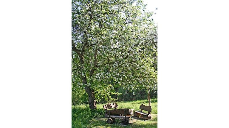 Mitt på gården står ett obeskuret äppelträd och får göra precis som det själv vill.