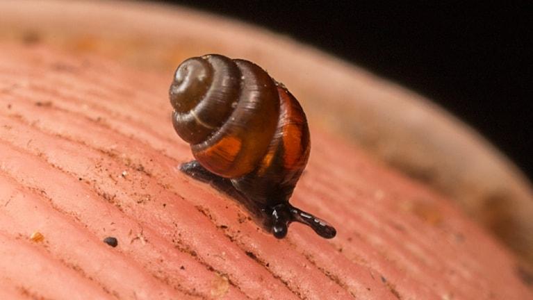 En mycket liten snäcka som kryper på en fingerspets