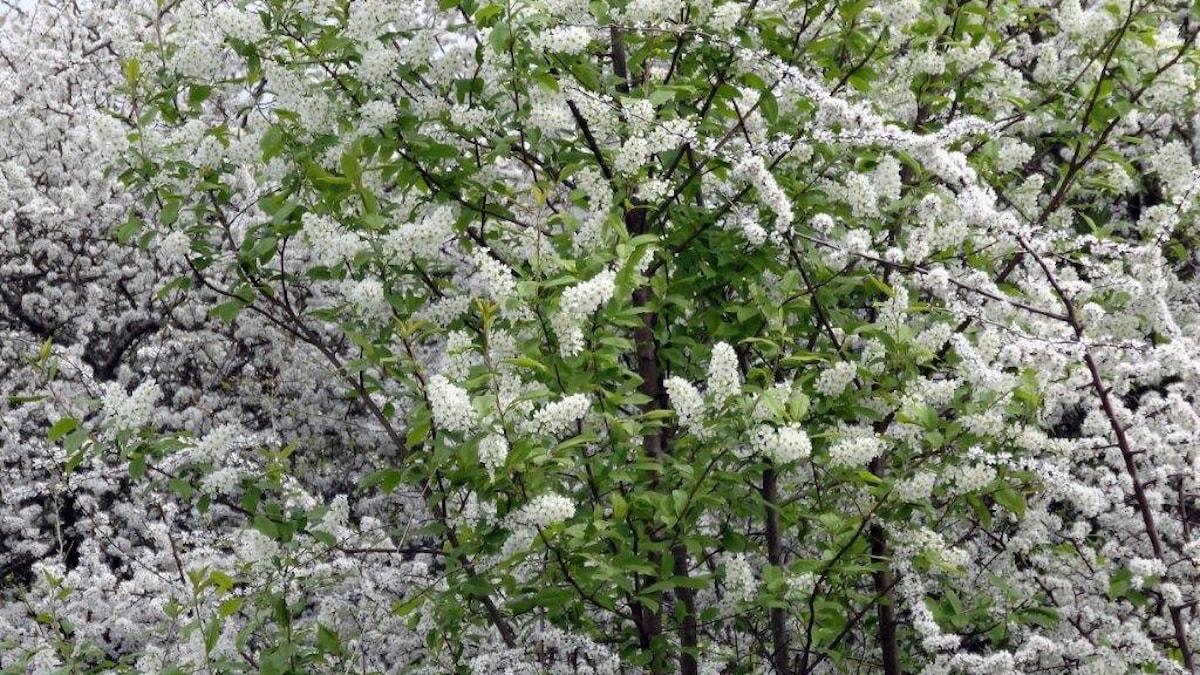 Ett blommande vitt i hav. I mitten syns häggen, Prunus padus.