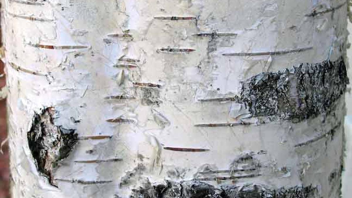 Björken - hem för många andra organismer och ett träd som varit så användbart för människan.
