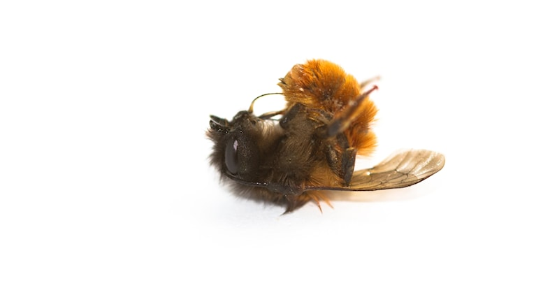 Ett dött bi med lång raggig päls (hona av rödmurarbi) ligger på rygg