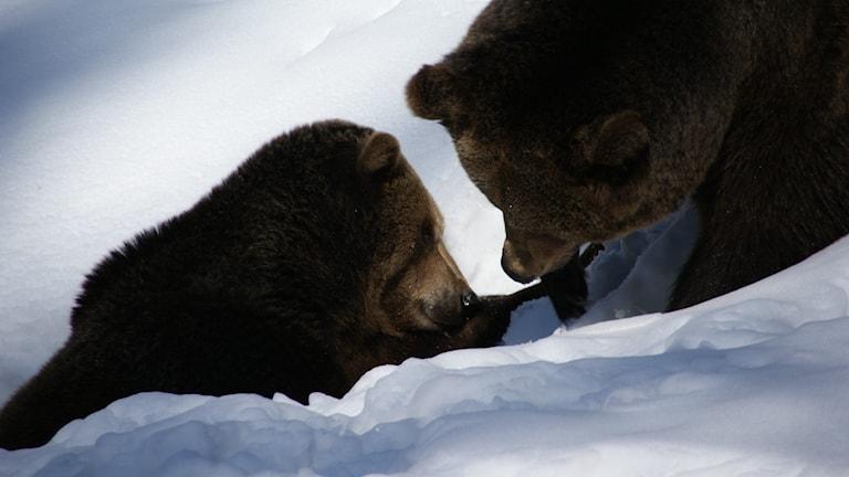 Två brunbjörnar i snö