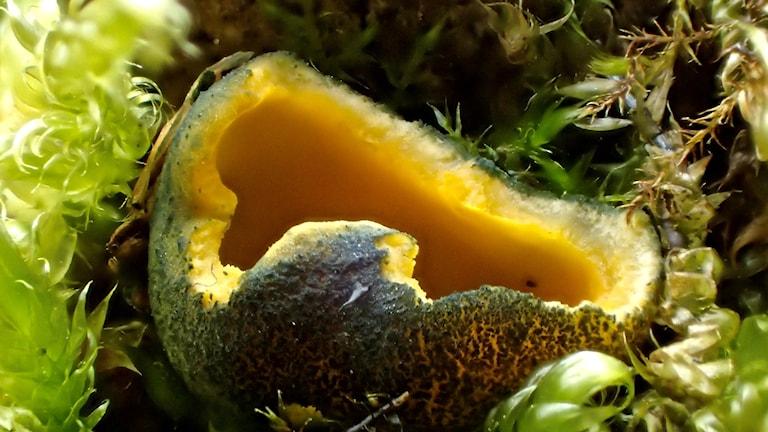 Närbild på en gul skålsvamp med blåärgig utsida