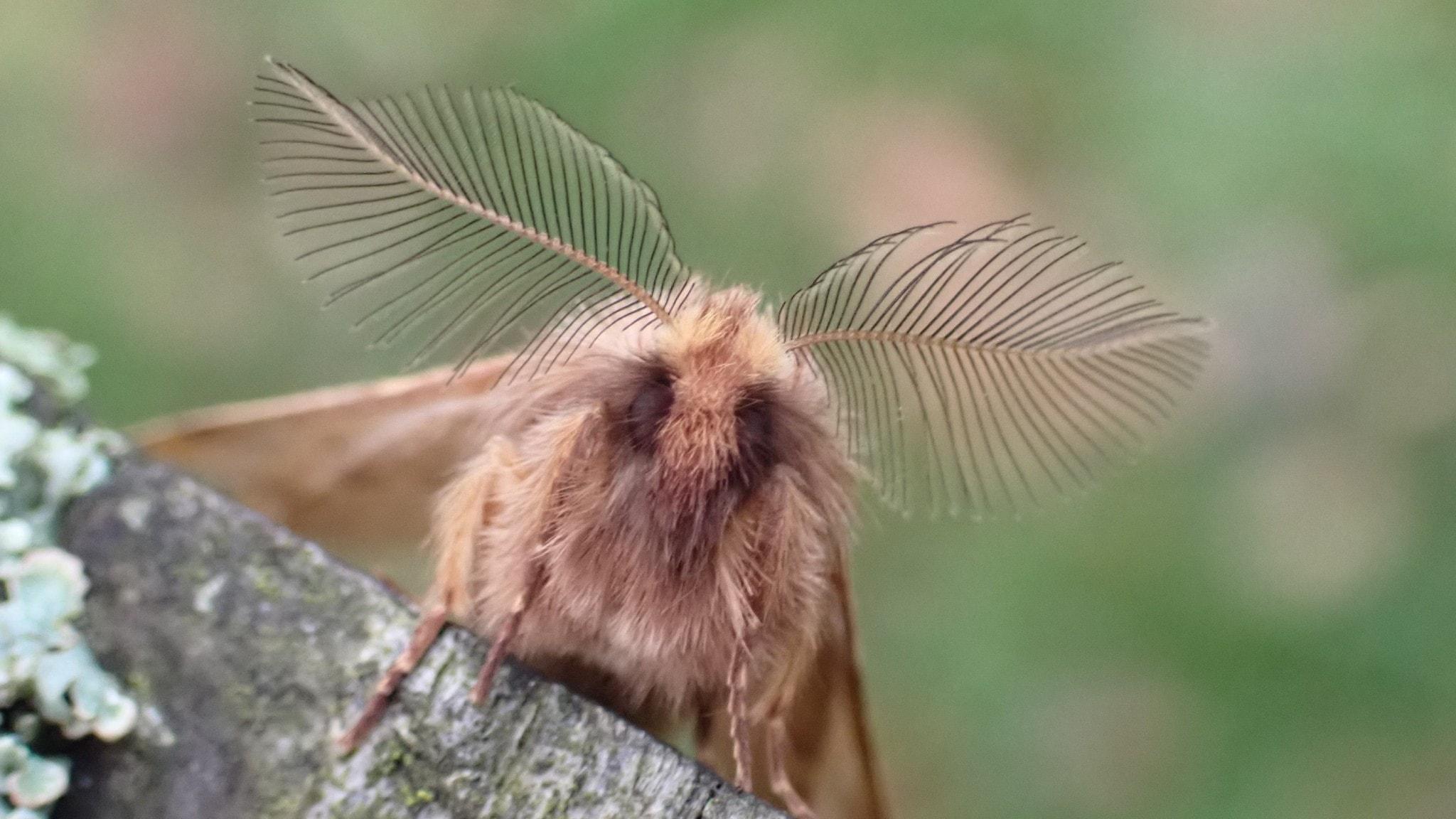 En ljusbrun fjäril som är hårig, nästan som att den har päls sitter på en träbit och tittar in i kameran. Antennerna sticker rakt ut och de ser ut som stora fjädrar.