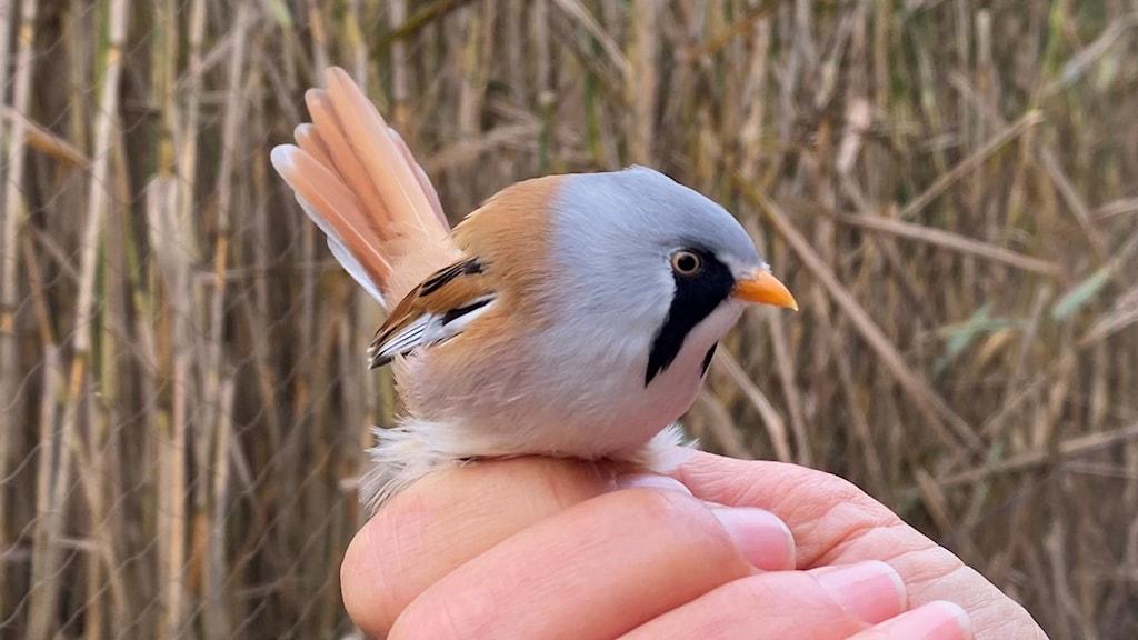 En fågel med grått huvud, kolsvarta polisonger, ljust rödbrun rygg och stjärt hålls i hand.