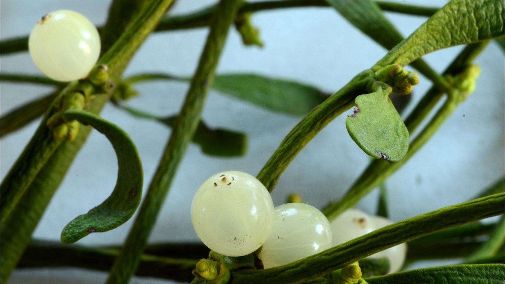 vita bär och grön växt