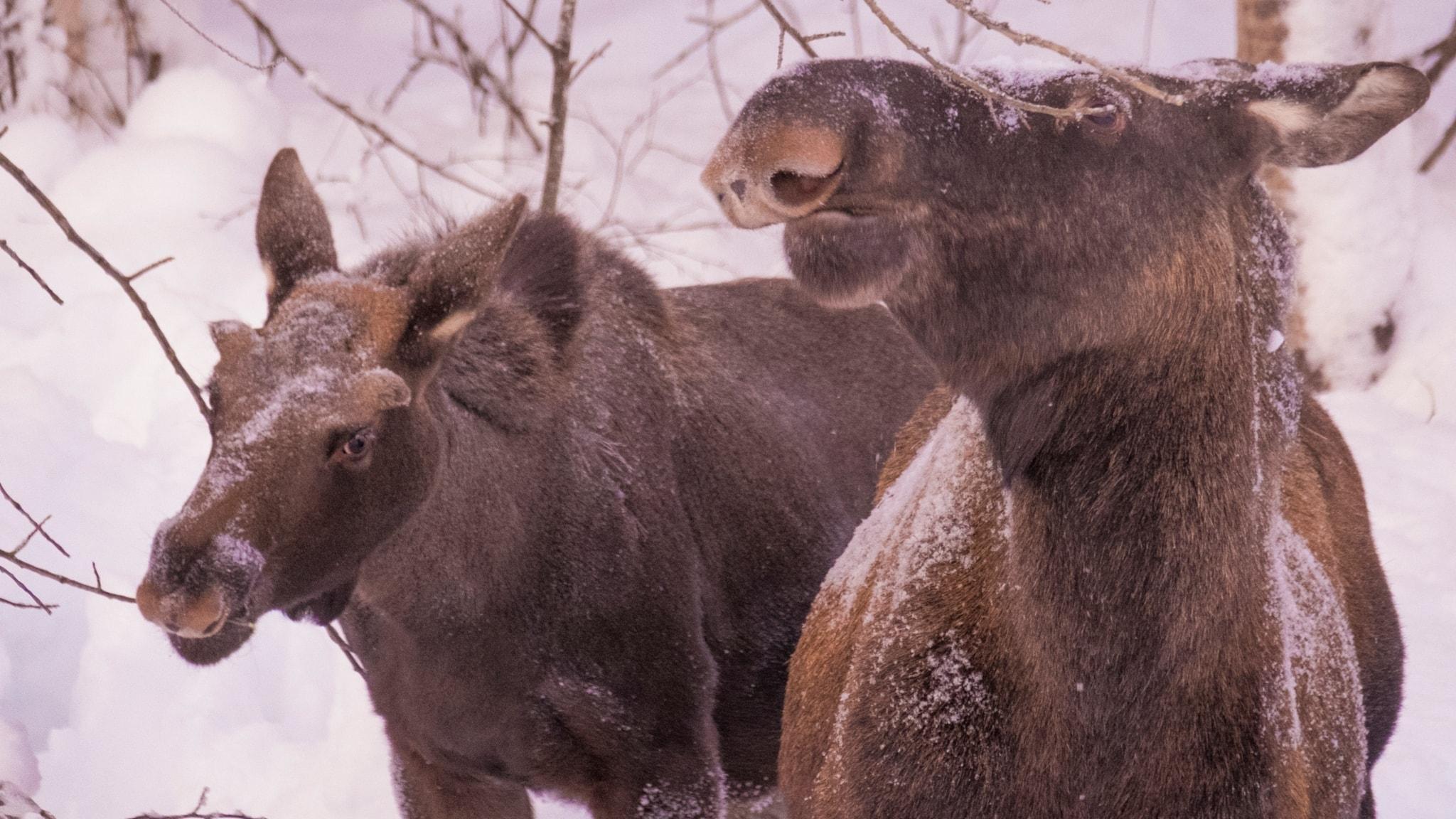 Älgträngsel i nationalparken och spårtur på snöskor
