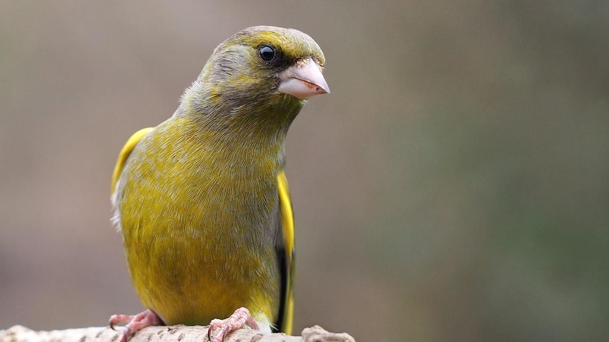 En närbild på en vackert grön småfågel med kraftig finknäbb.