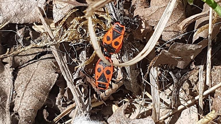 Två rödsvarta insekter som hänger ihop med varandra - i rumpan.