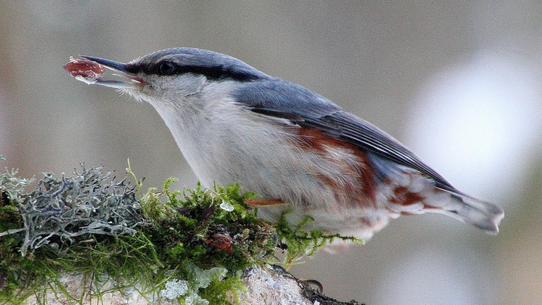 Fågelsånglektion #16: Nötväcka och trädkrypare